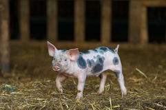 Cute piglet at the farm Stock Photo