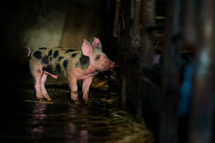 Cute piglet at the farm.  stock image