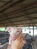 Cute piglet in farm. Pig farm piglet animal mammal Royalty Free Stock Image