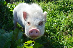 Cute piglet in green grass. A cute piglet looking to the objective from the green grass on a farm Stock Photos