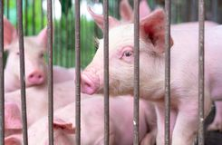 Free Cute Piglet In Farm. Sad And Healthy Small Pig. Livestock Farming. Meat Industry. Animal Meat Market. African Swine Fever Royalty Free Stock Photos - 162282868