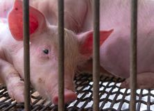 Free Cute Piglet In Farm. Sad And Healthy Small Pig. Livestock Farming. Meat Industry. Animal Meat Market. African Swine Fever Stock Photos - 163060943