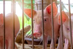Free Cute Piglet In Farm. Sad And Healthy Small Pig. Livestock Farming. Meat Industry. Animal Meat Market. African Swine Fever Stock Photo - 163610560