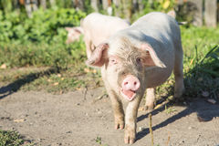 Cute piglet on the meadow. Sweet filthy Piglet on a green meadow Stock Photography