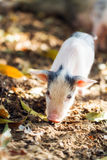 Cute piglet Royalty Free Stock Photos