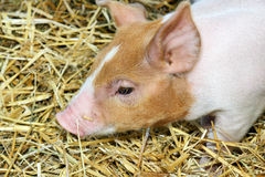 Cute piglet portrait. Portrait of a very cute baby pig or piglet walking in hay at a farm, country or state fair Royalty Free Stock Image