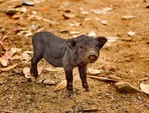 Cute piglet on sand. Cute piglet playing on sand stock image