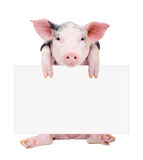 Cute piglet sitting with a banner Stock Photography