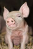 Cute Piglet Snout Stock Images