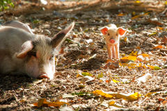 Cute piglet and sow. (sus scrofa) in the morning sun in Madagascar stock image