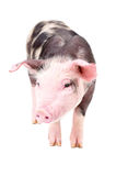 Cute piglet Stock Image