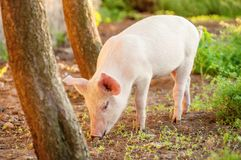 Cute piglet walking on grass in spring time. Pigs grazing at me. Adow under. Organic agriculture natural background stock photos
