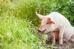 Cute piglet walking on grass in spring time. Pigs grazing at me. Adow under. Organic agriculture natural background royalty free stock photography