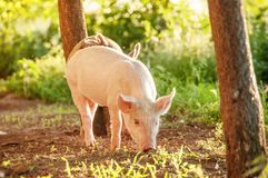 Cute piglet walking on grass in spring time. Pigs grazing at me. Adow under. Organic agriculture natural background royalty free stock photos
