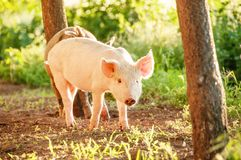 Cute piglet walking on grass in spring time. Pigs grazing at me. Adow under. Organic agriculture natural background royalty free stock images