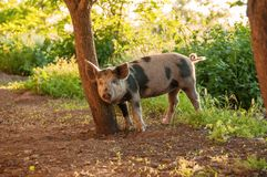 Cute piglet walking on grass in spring time. Pigs grazing at me royalty free stock image