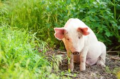 Cute piglet walking on grass in spring time. Pigs grazing at me stock photo