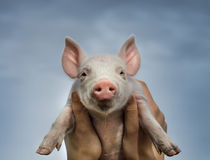 Cute piglet royalty free stock images