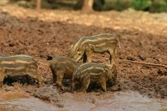 Cute piglets 1. Little piglets hanging out in the mud at the Tiger Temple, Kanchanaburi, Thailand Royalty Free Stock Photos