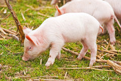 Cute piglets. On spring meadow Royalty Free Stock Photo