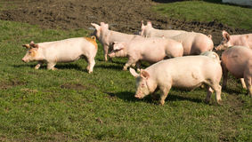 Cute piglets Royalty Free Stock Photos
