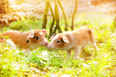 Cute piglets in countryside Royalty Free Stock Image