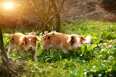 Cute piglets in countryside Stock Photography