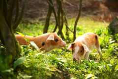 Cute piglets in countryside Stock Images