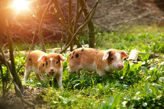 Cute piglets in countryside Royalty Free Stock Photography