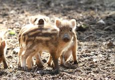Cute piglets Stock Photos