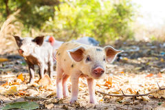 Cute piglets Madagascar Royalty Free Stock Photo