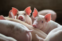 Cute Piglets in the pig farm. Portrait of cute Piglets in the pig farm looking to camera stock images