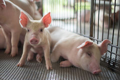 Cute Piglets. Portrait of cute Piglets in the pig farm looking to camera stock photos