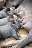 Cute piglets suck their mother pig. Close-up of four little piglets suckling milk at nurse pig stock photo