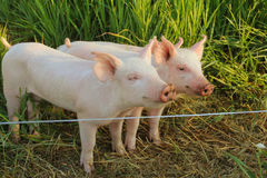 Cute Piglets in Their Pen Stock Photography