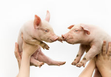 Cute piglets. Two white cute piglets up in the air stock image