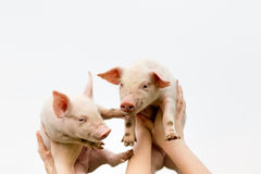 Cute piglets. Two white cute piglets up in the air royalty free stock images