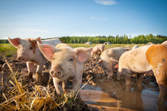Cute pigs. Many cute pigs on a pigfarm royalty free stock photo