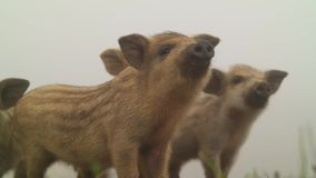 Cute pigs in nature stock video