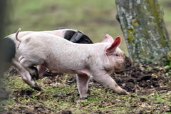 Cute pigs running on field Royalty Free Stock Image