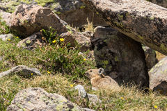 Cute Pika in Summer Stock Photography
