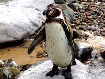 Cute Pinguin Royalty Free Stock Photos