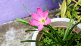 Cute pink flower solo garden on pot with green leaves Royalty Free Stock Image
