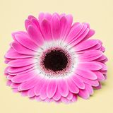 Cute pink flower on umber background Stock Image