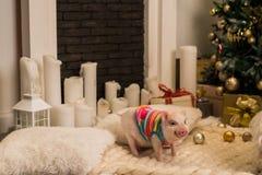 Cute pink mini pig indoors stock photos