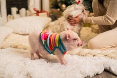 Cute pink minipig and dog in the background royalty free stock photography
