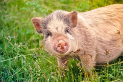 Cute pink pig on the green grass Stock Photo