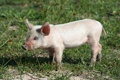 Cute Pink Piglet. Young pink piglet with big ears in the meadow Royalty Free Stock Image