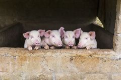 Cute pink pigs standing in a row. Four adorable young pink pigs standing in a row with trotters on pen window sill watching stock photography