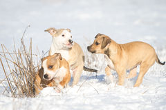 Cute Pit Bull puppies in the snow Royalty Free Stock Image